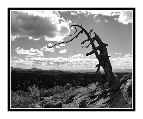 Twisted Tree Trunk in Mueller State Park, Colorado 2000
