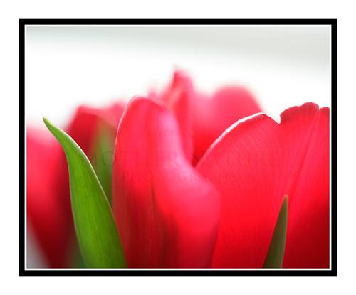 Red Tulip Flower Detail 2381