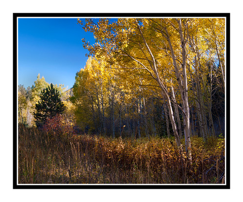 Golden Aspen Trees, Colorado 2344