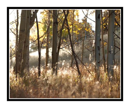 Aspen Trees Backlit with Autumn Light, Colorado 2330