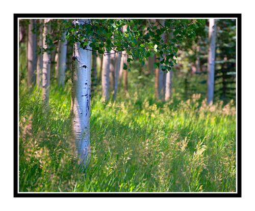 Aspen Trees Backlit in Summer, Colorado 2118