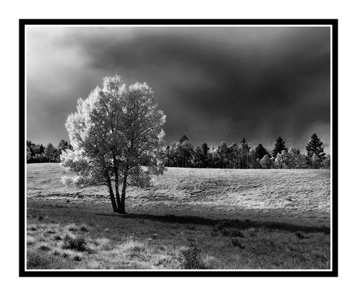 Aspen Tree in Mueller State Park, Colorado 2012 B&W