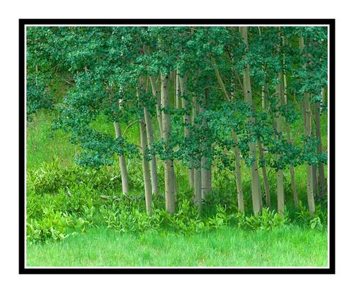 Aspen Trees in Summer, Colorado 1934