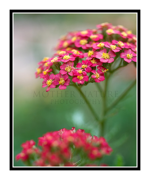 Yarrow (Achillea) Flower Detail 1723