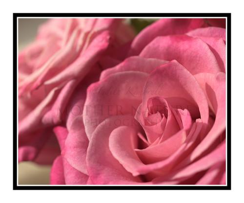 Pink Rose Detail Bathed in Light 2460