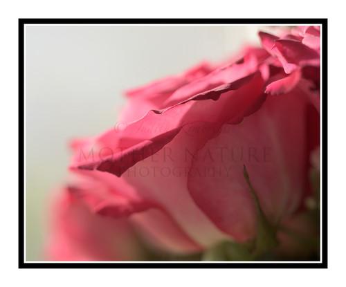Pink Rose Detail Bathed in Light 2464