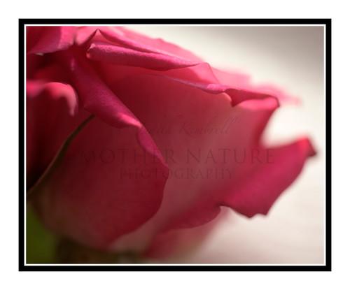 Pink Rose Detail Bathed in Light 2465