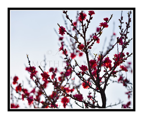 Pink Flowered Peach Tree Backlit at Sunset 2438
