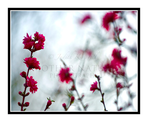 Pink Flowered Peach Tree Backlit at Sunset 2439