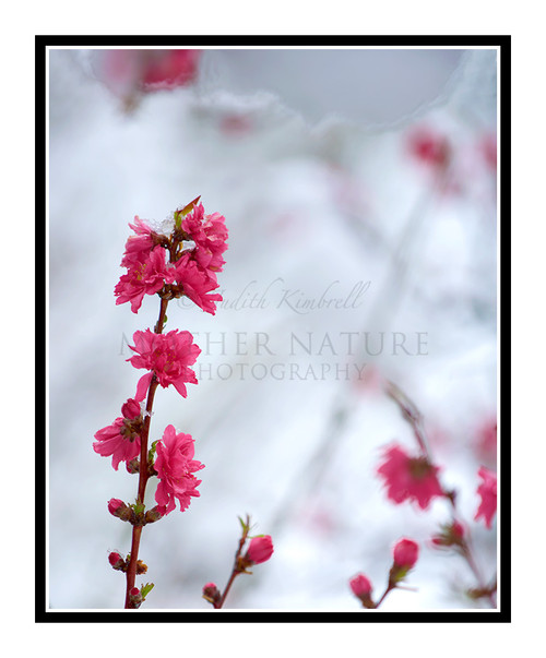 Pink Flowered Peach Tree in Spring Snow 2442
