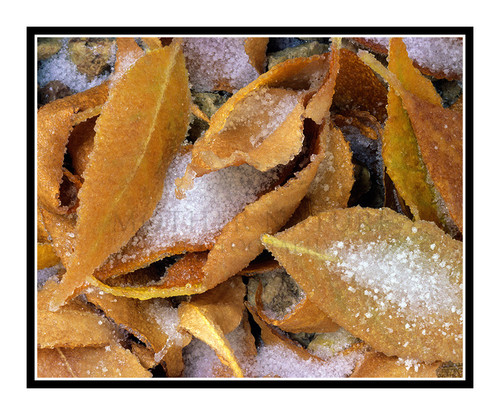 Brown Leaves Covered in Frost and Ice 1528
