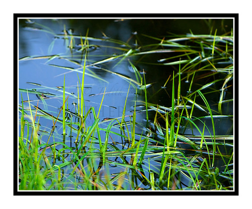 Grass in a Pond in the Black Hills, South Dakota 1388