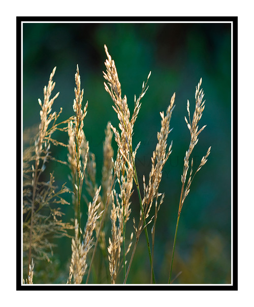 Grass Back Lit Against a Green Background 1064