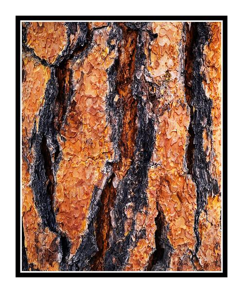 Pine Tree Bark Texture in Colorado 119