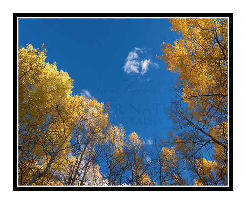 Golden Aspens in Autumn Mueller State Park, Colorado 2520