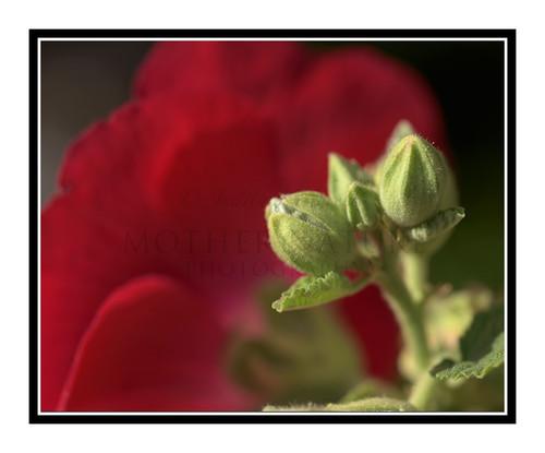 Red Hollyhock Flower Bud 2659