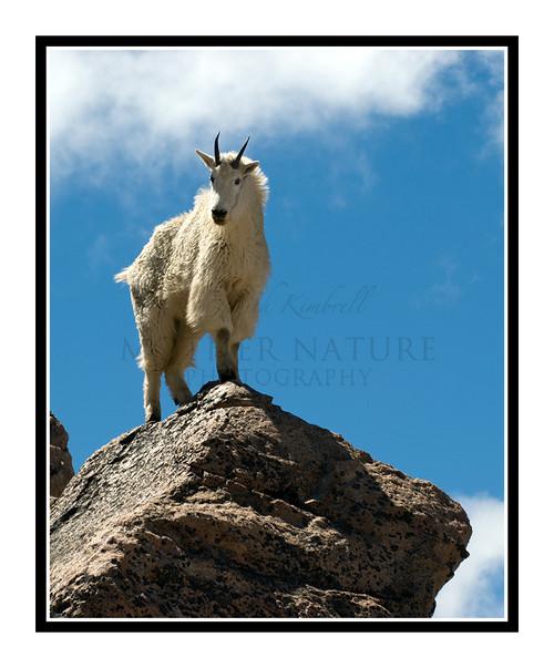 Mountain Goats at Mt. Evans, Colorado 1505