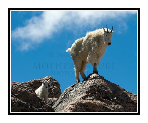 Mountain Goats at Mt. Evans, Colorado 1504