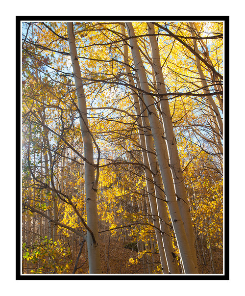 Golden Autumn Aspens off Hwy. 67 2317