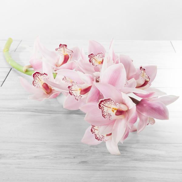 Cymbidium Stems Large blooms
