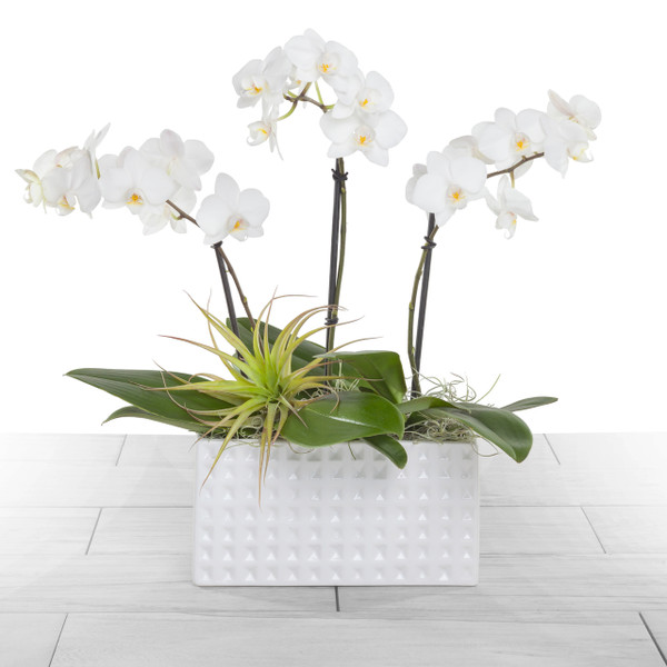 Orchid Peace