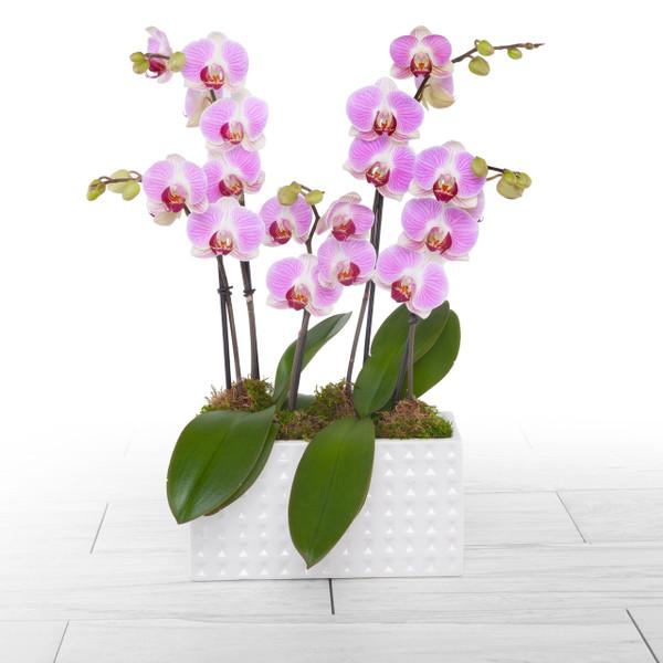Orchid Trio