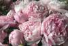 'Sarah Bernhardt' - Roots
