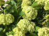 Snowball Viburnum - 10 bunches