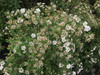 Spirea - 'Bridal Wreath' - 10 bunches