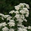 Spirea - 'Snowmound' - 10 bunches
