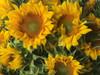 ProCut Yellow - 10 bunches