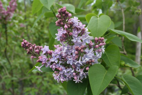 Lilac  (lavender) - 10 bunches