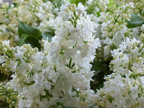 Lilac (white) - 10 bunches