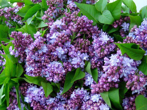 Lilac (purple) - 10 bunches
