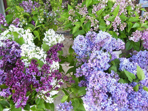 Lilac (mixed colors) - 10 bunches