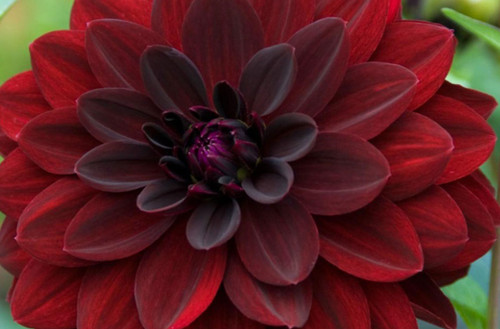Arabian Night Dahlia Tuber - (10)