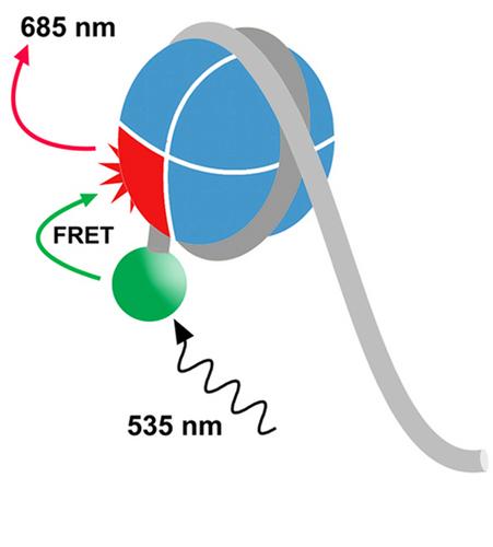 EpiDyne-FRET Remodeling Assay Substrate DNA