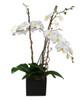 Triple Phalaenopsis Orchid Plant