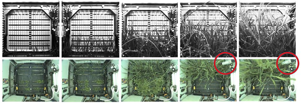 Adnvaced Plant Habitat Apogee Wheat photo timeline sequence with the Apogee SI infrared radiometer
