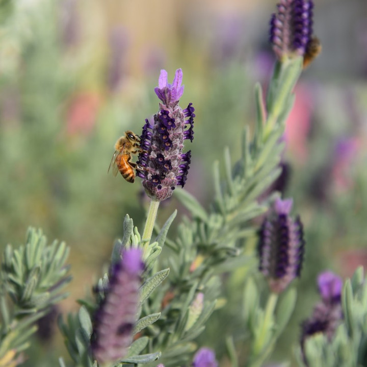 Honey bees collect nectar from wild lavender blossoms to create Savannah Bee Company Lavender Honey.
