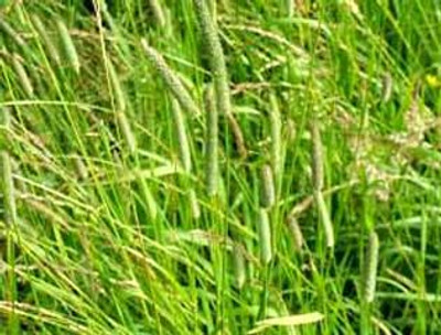 Timothy Grass Seed, 50 Lb