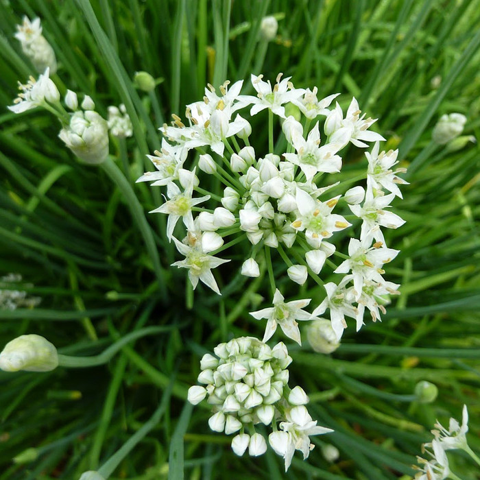 Chives - Garlic OG