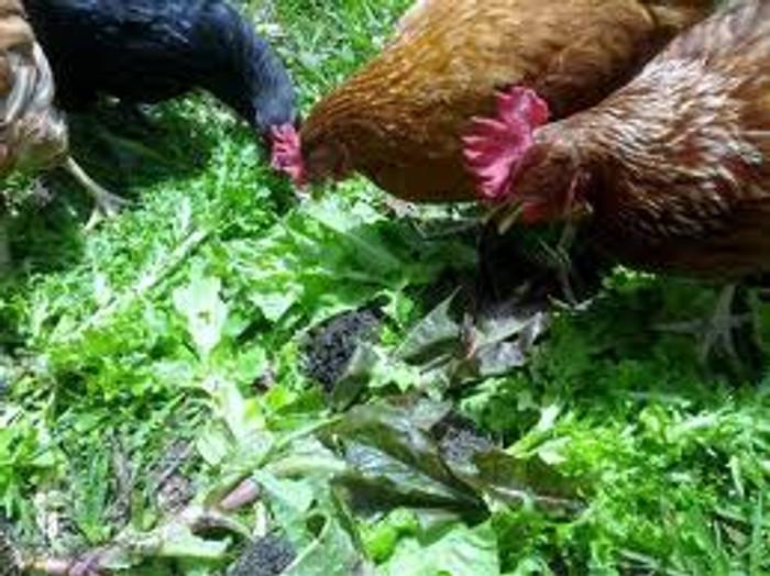 Critter Mix - Chicken Lettuce OG