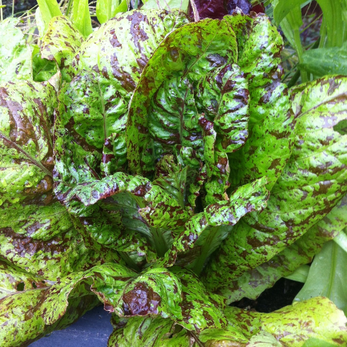 Freckles Lettuce from the Seattle Seed gardens.