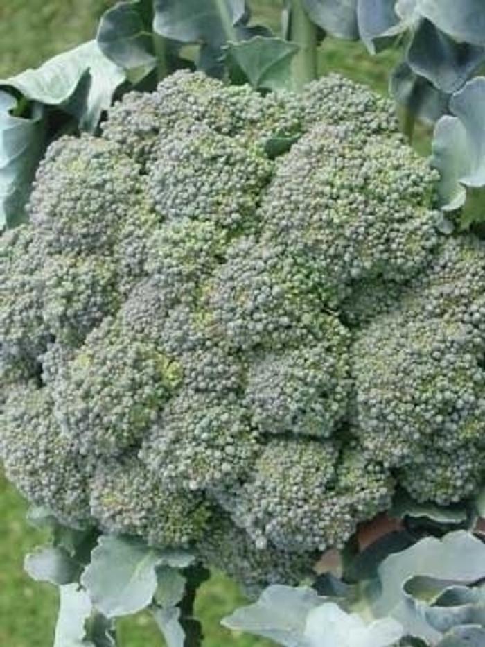 Broccoli - Waltham OG