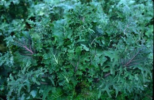 kale wild garden mix og - Wild Garden