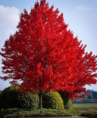 Red Maple Live Stakes