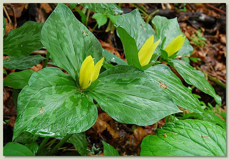 Yellow trillium for sale buy trillium luteum yellow trillium in bloom yellow trillium yellow trilliums mightylinksfo