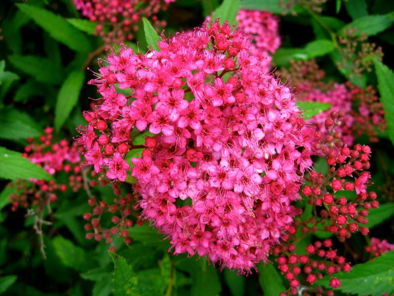 Buy pink spirea bushes online pink spirea for sale pink spirea shrubs pink spirea bloom mightylinksfo