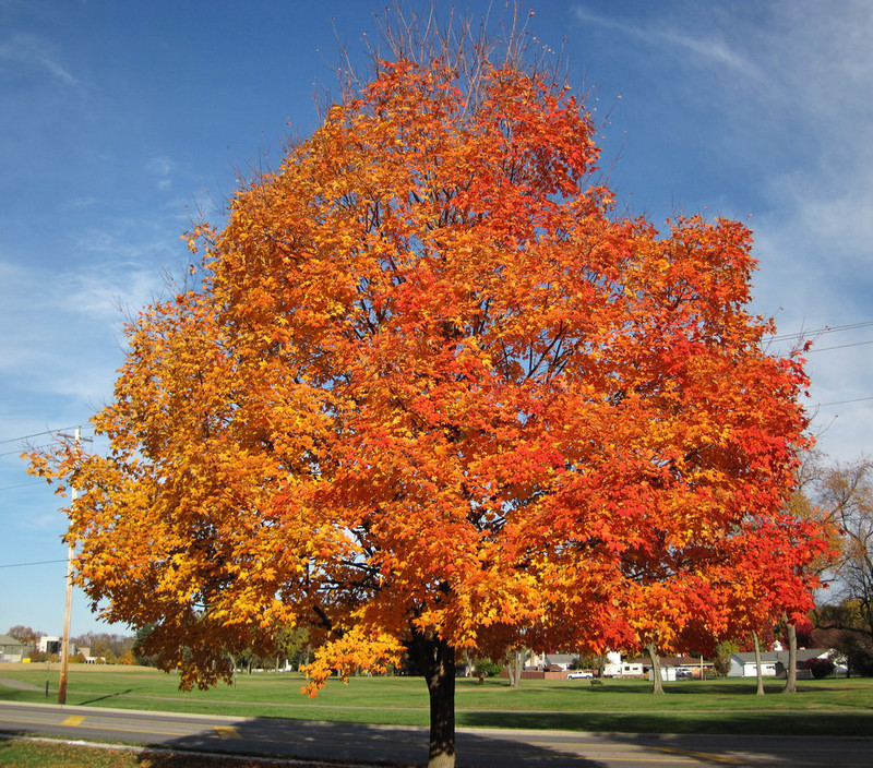 Image result for maple tree